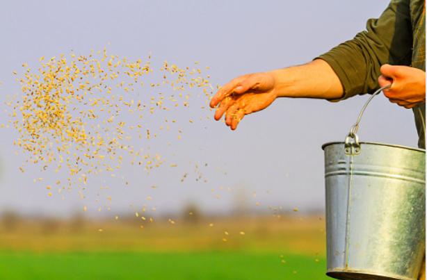 Le grain qui nous nourrit – Homélie du 15è Dimanche du Temps ordinaire, 12.07.2020 Année A